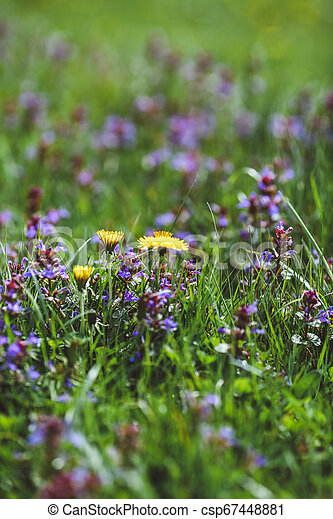 Forest Glade with green grass and yellow dandelion flowers and white daisies - csp67448881