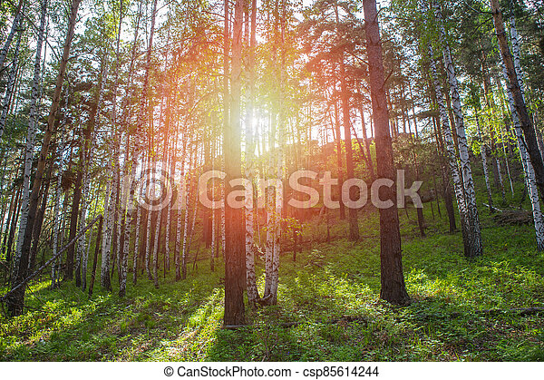 Forest in Rays of Bright Sunlight - csp85614244