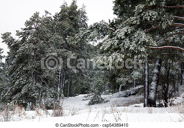 Forest in the snow - csp54389410