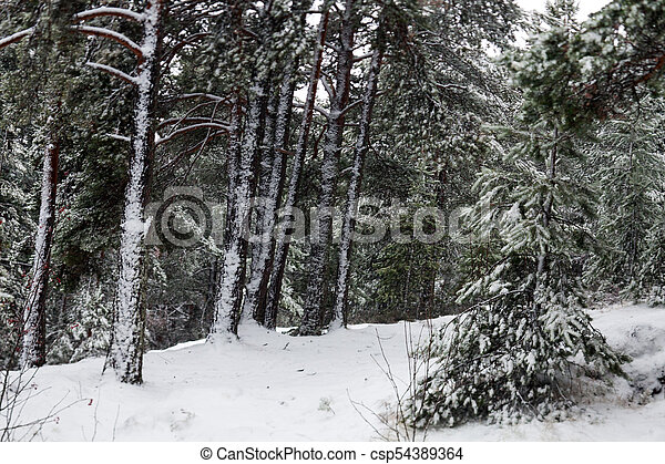 Forest in the snow - csp54389364