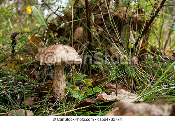 Forest mushroom brown cap boletus growing in a green moss. - csp64782774