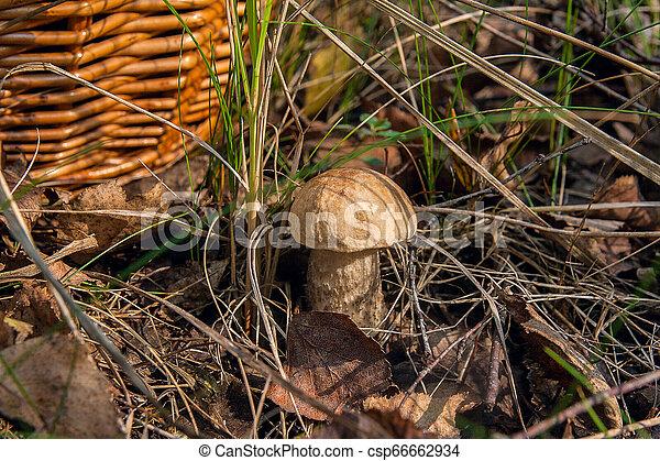 Forest mushroom brown cap boletus growing in a green moss. - csp66662934