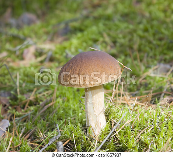 forest mushroom in the moss - csp1657937