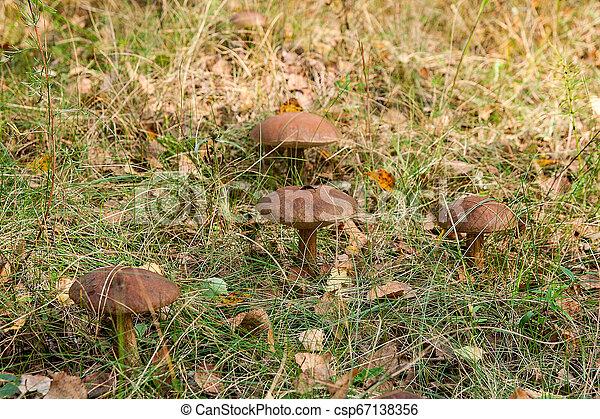 Forest mushrooms brown cap boletus growing in a green moss. - csp67138356