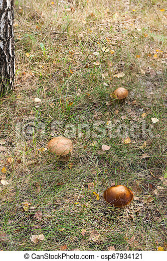 Forest mushrooms brown cap boletus growing in a green moss. - csp67934121