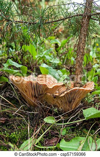 Forest mushrooms Saffron Milk Cap growing in a green moss. - csp57159366