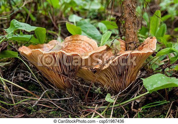 Forest mushrooms Saffron Milk Cap growing in a green moss. - csp51987436
