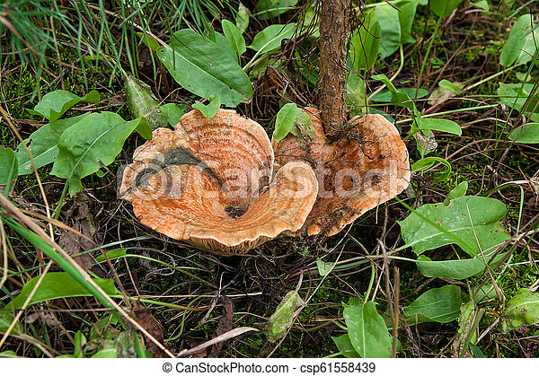 Forest mushrooms Saffron Milk Cap growing in a green moss. - csp61558439