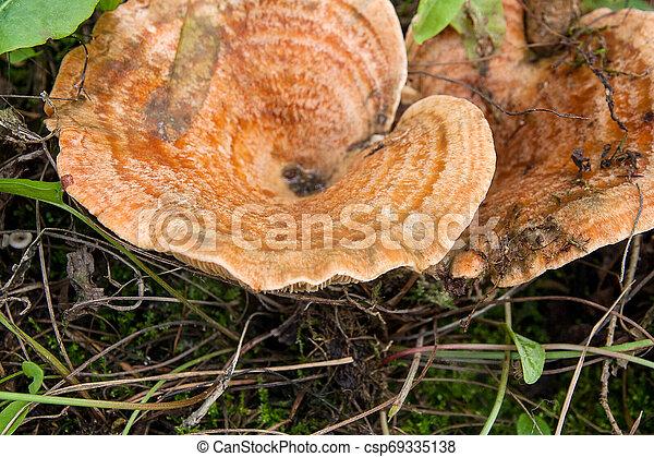 Forest mushrooms Saffron Milk Cap growing in a green moss. - csp69335138