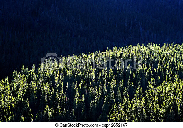 Forest of Pine Trees with Sunlight - csp42652167