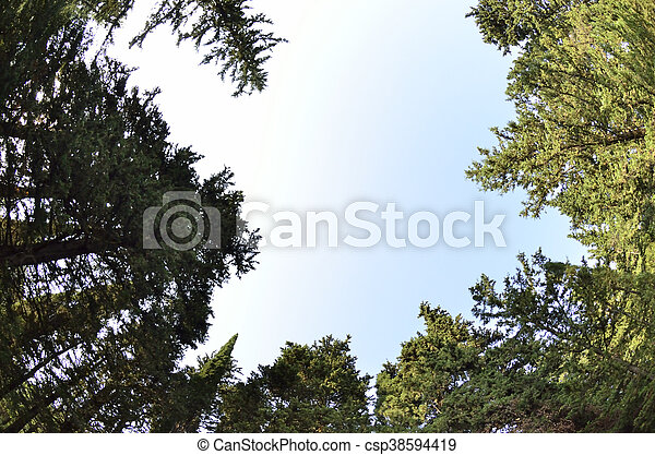 Forest tree tops cypress - csp38594419