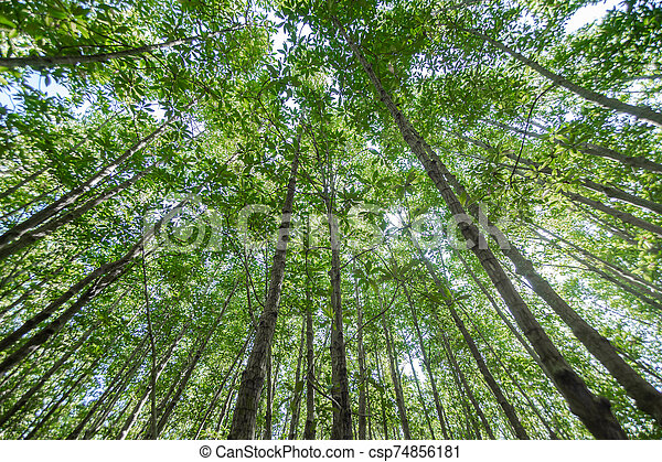 Forest trees with sunlight of nature - csp74856181