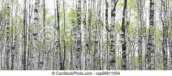 Forest with trunks of birch trees - csp26811054