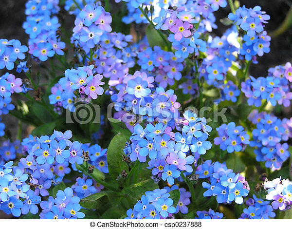 Forget me not - csp0237888