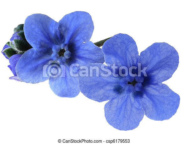 Forget-me-not - csp6179553