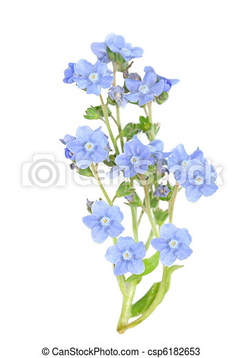 forget me not - csp6182653