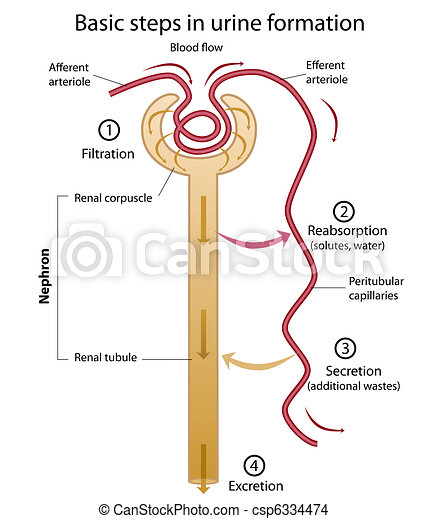formation of urine nephron diagram showing formation of urine eps8