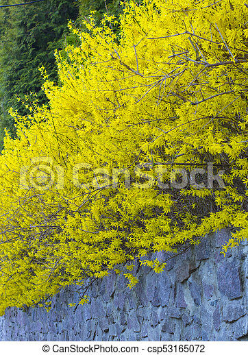 Forsythia a bush blooming in early spring bright yellow mightylinksfo