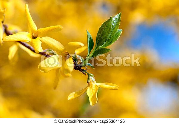 Forsythia bush blooming yellow flowers in spring forsythia bush blooming yellow flowers in spring csp25384126 mightylinksfo