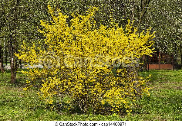 forsythia bush - csp14400971