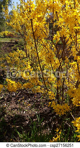 Forsythia Bush Blooming Forsythia In Early Spring Yellow Flowers