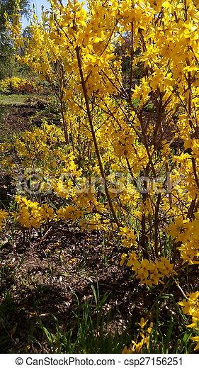 Forsythia bush blooming forsythia in early spring yellow flowers forsythia bush csp27156251 mightylinksfo