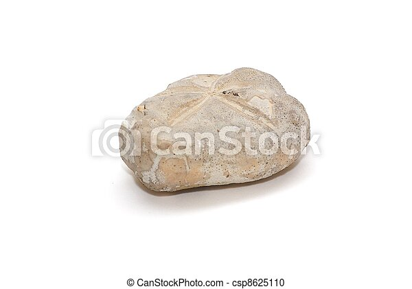 Fossilized sea urchin isolated on white background - csp8625110