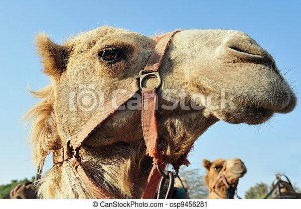 fotografias, fauna, árabe, -, camelo - csp9456281