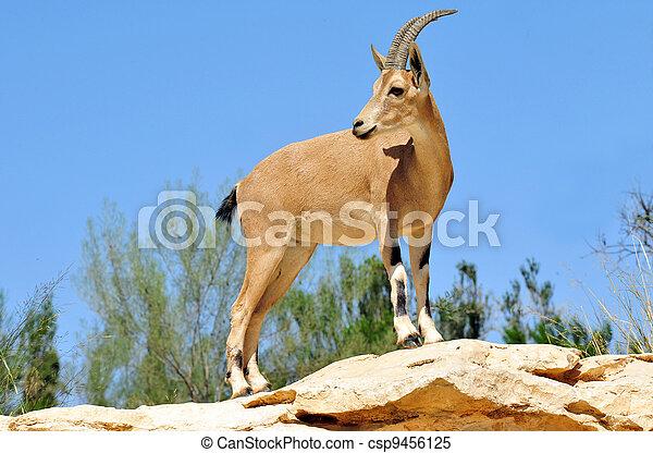 fotografias, fauna, -, ibex - csp9456125