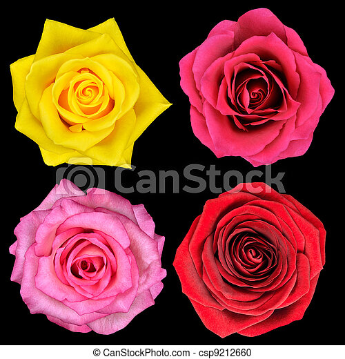Four Perfect Rose Flower Isolated on Black - csp9212660