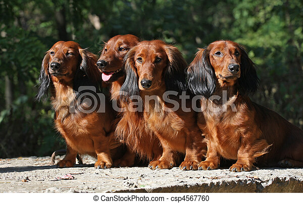 Four red Dachshund dogs sitting together  - csp4567760