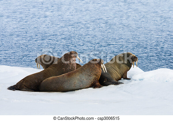 Four Walrus Lying on the Snow - csp3006515