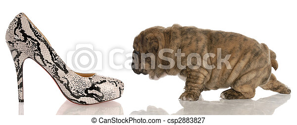 four week old english bulldog puppy sneaking up on woman\'s high heeled shoes - csp2883827