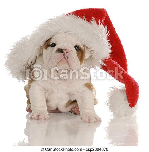four week old english bulldog puppy dressed up as santa - csp2804070