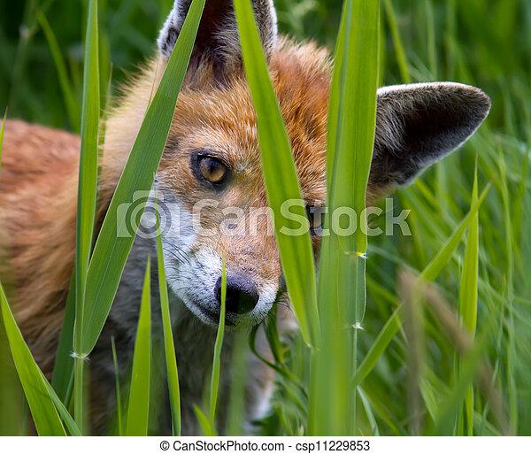 Fox Cub - csp11229853