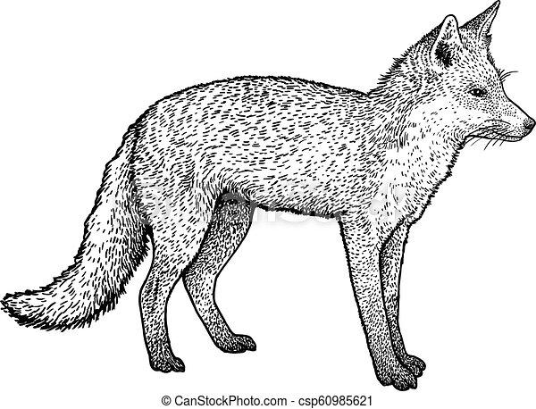 Fox illustration, drawing, engraving, ink, line art, vector - csp60985621