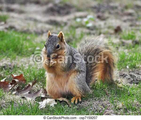 fox squirrel - csp7159207