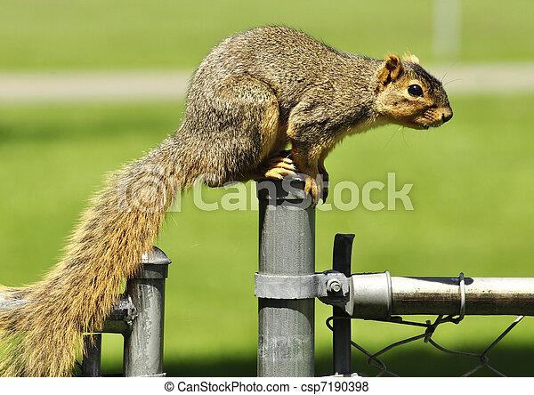 fox squirrel - csp7190398