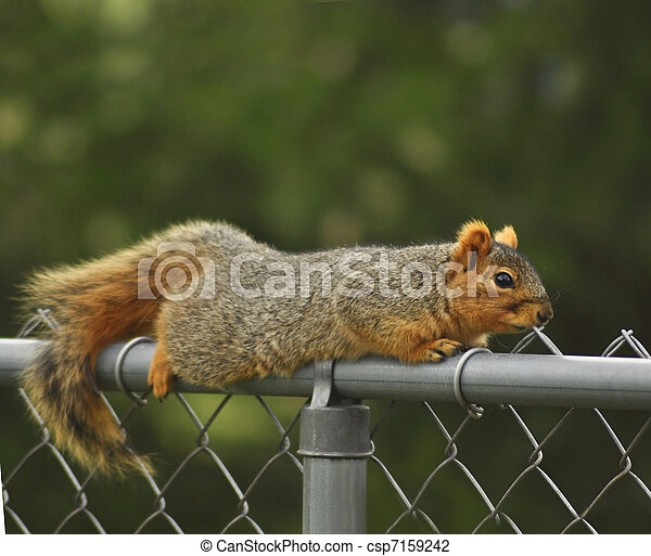 fox squirrel - csp7159242