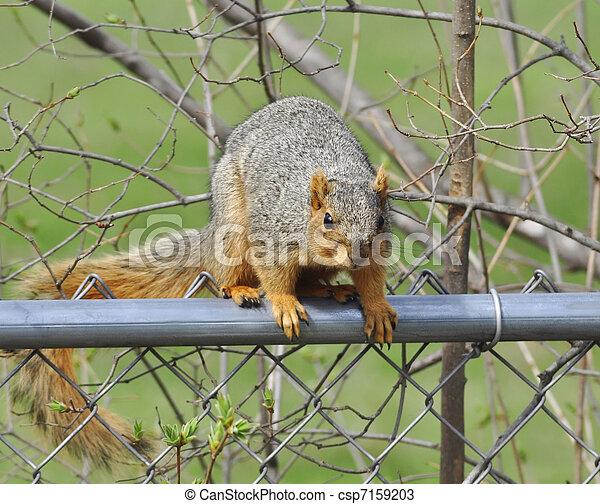 fox squirrel - csp7159203
