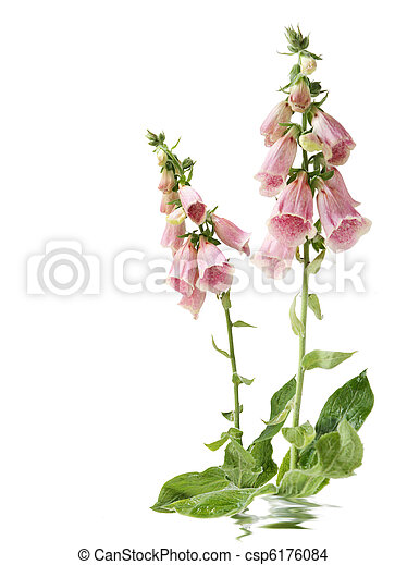 Foxglove flowers foxglove flowers isolated on white foxglove flowers csp6176084 mightylinksfo