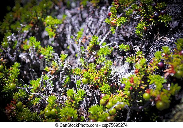 früchte, norway., schwarz, norwegisch, crowberry, betriebe - csp75695274
