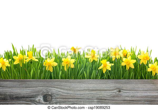 frühjahrsblumen, narzissen - csp19089253
