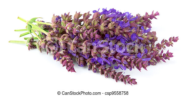 fragrant lavenders flowers - csp9558758