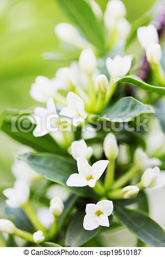 Small decorative fragrant lilac with white flowers fragrant lilac with white flowers csp19510187 mightylinksfo