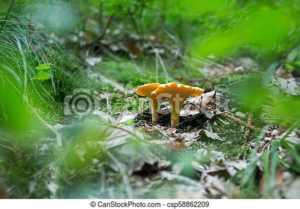 frais, chanterelle, forêt, champignon, terre - csp58862209