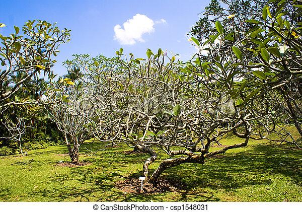 Frangipani Apocynaceae - csp1548031