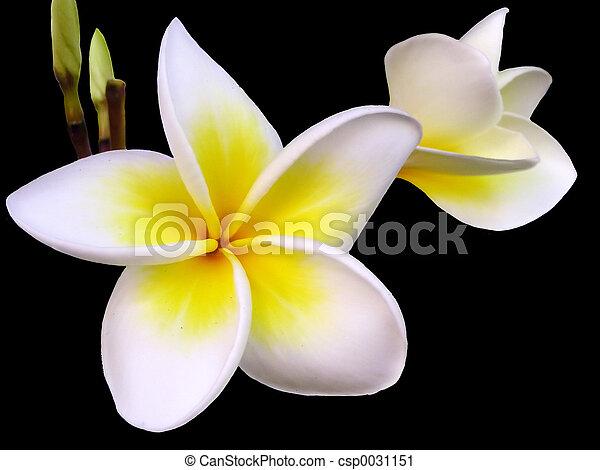 frangipani, flor - csp0031151