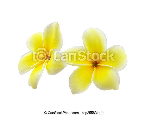 Frangipani flower isolated on white background - csp25583144