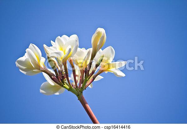 Frangipani (plumeria) against blue sky - csp16414416